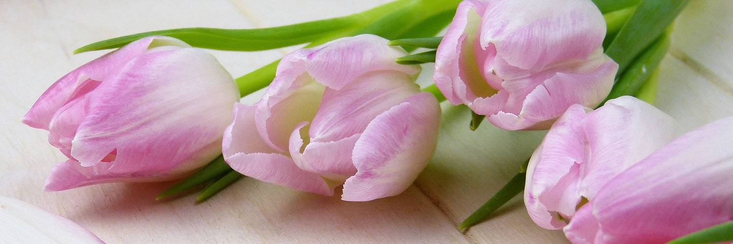 Pink tulips on display
