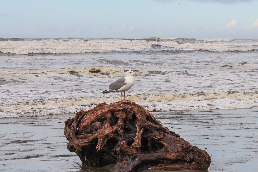 Watch the antics of seagulls and other ocean birds from Kalaloch Lodge.