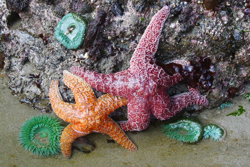 Discover colorful starfish, anemones, and more while tide pooling near Kalaloch Lodge.
